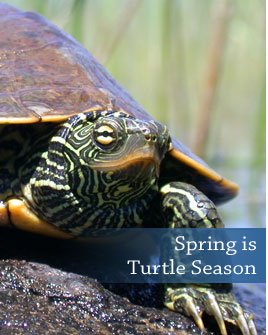 spring is turtle season